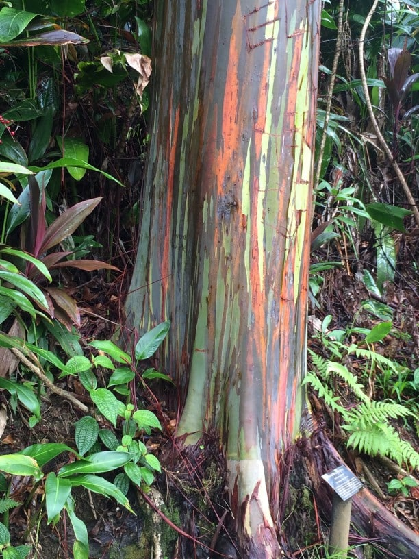 Is The Rainbow Eucalyptus Real San Diego Tree Trimming Lc Tree
